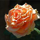 Morning Rose by Chet  King