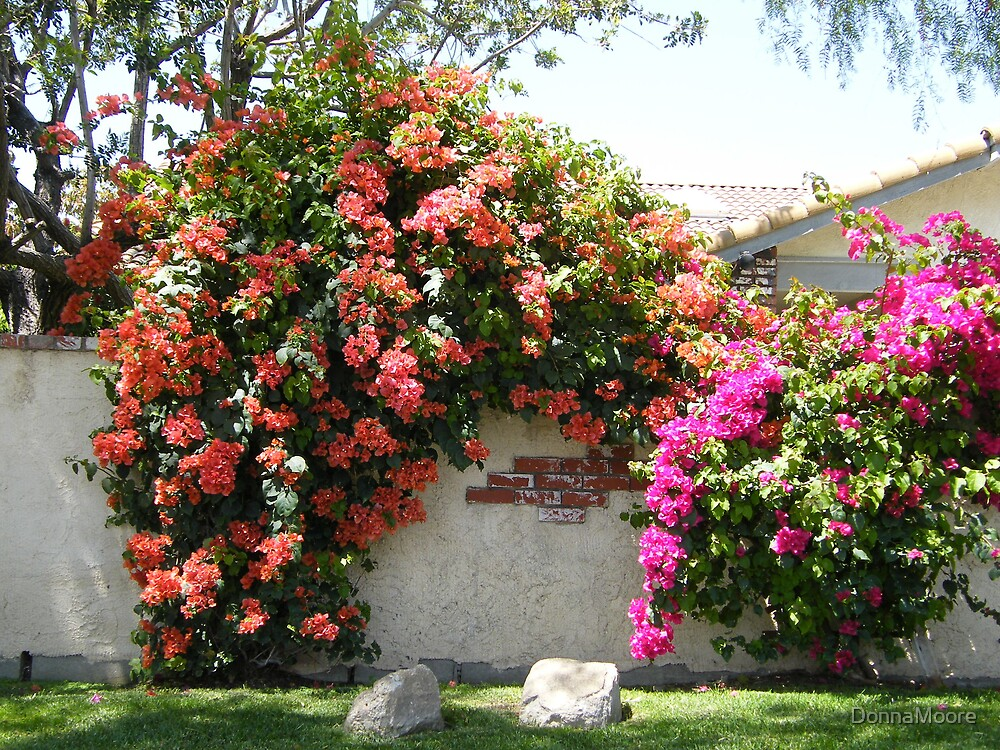 Two different colors of Bougainvillea.