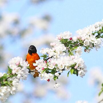 Baltimore Oriole in the Apple Blossoms by backyardwonders