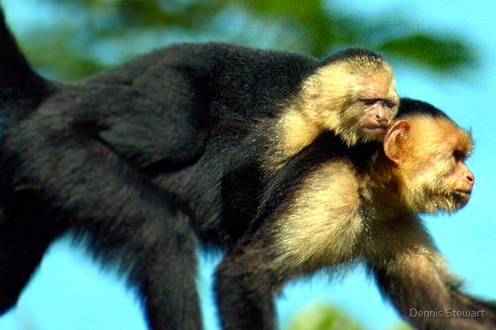 The White-Faced Capuchin and Baby  by Dennis Stewart