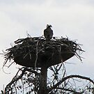 Osprey in her Nest in Grand Lake Colorado by janetmarston
