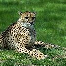 Classic Cheetah by Jerry Walter