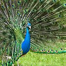 Peacock Pride by Jerry Walter