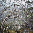 Mountain Gums by Mieke Boynton