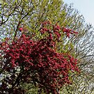 Tree with Red Blossoms by BlueMoonRose