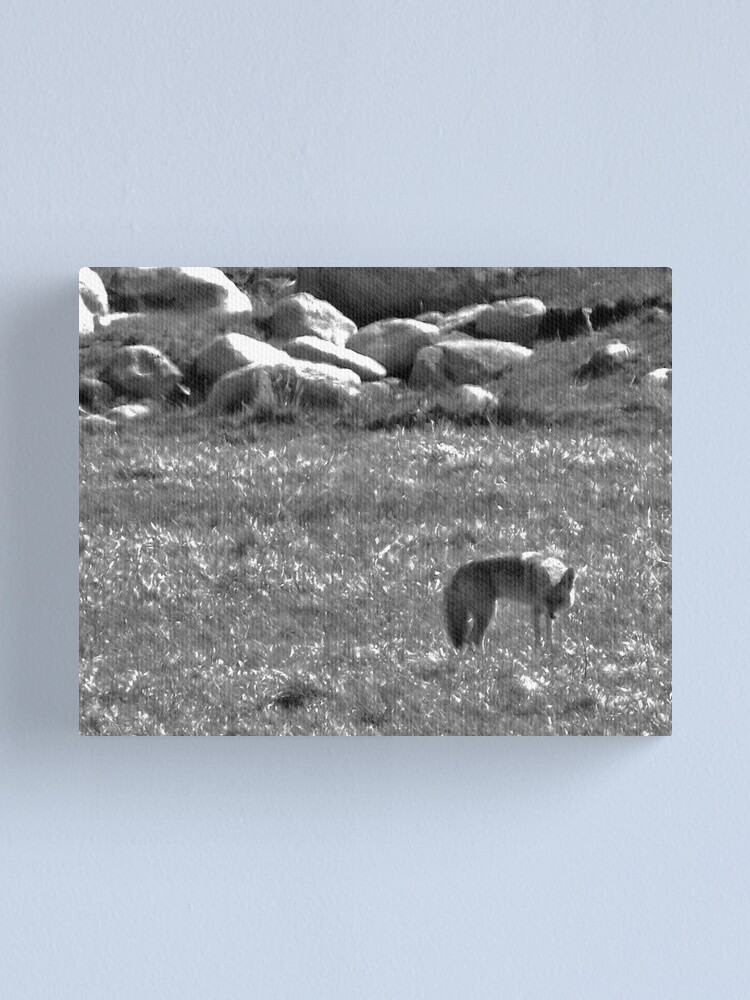 Alternate view of Cautious Coyote Canvas Print