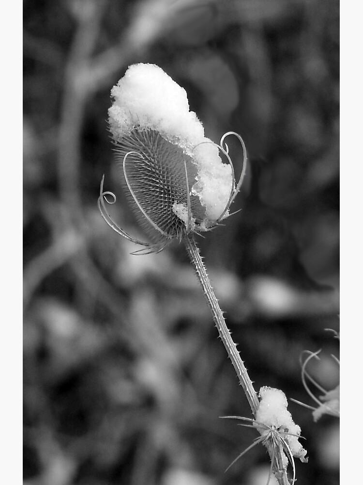 Snowflower by JandMPhoto