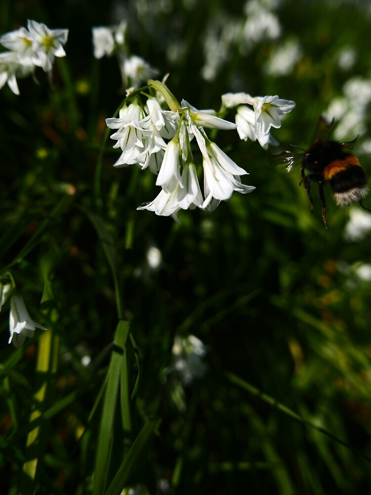 Three-cornered Leek (Allium triquetrum) by IOMWildFlowers