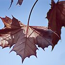 Maple leaf by Steve plowman