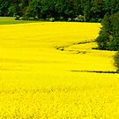 FIELD OF GOLD by Alateia