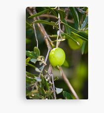 Olive Tree Branch with Fresh Olive Canvas Print