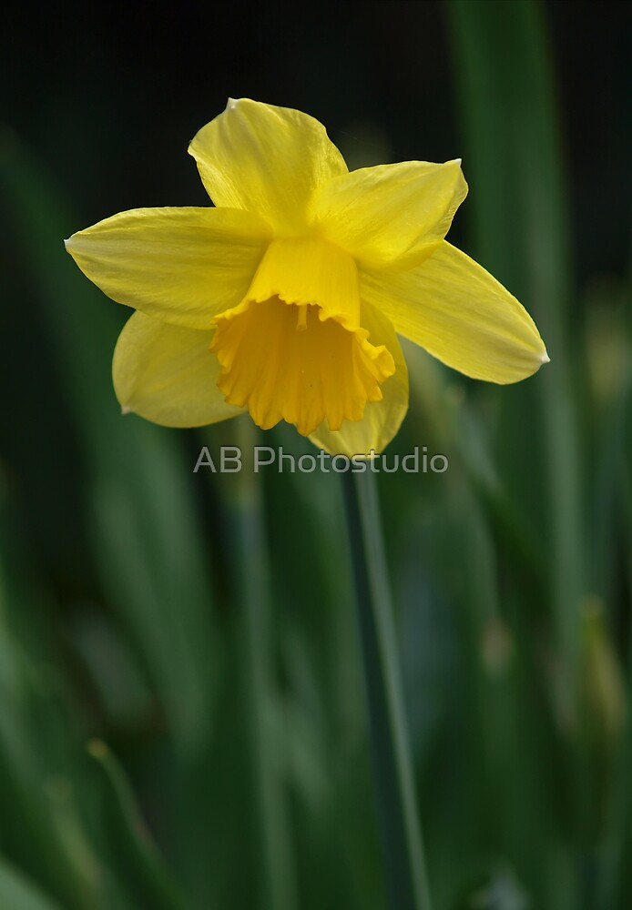 Wild daffodil, yellow by Arve Bettum