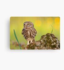 A little owl with a grasshopper. Canvas Print