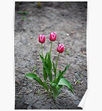 Ground-breaking tulips Poster