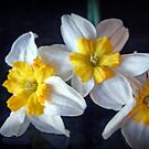 Beautiful Yellow Centered Daffodils by kkphoto1