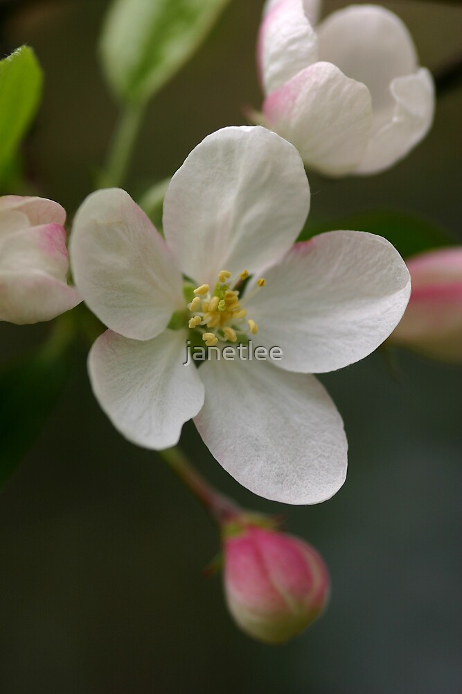 Crabapple Blossoms by janetlee