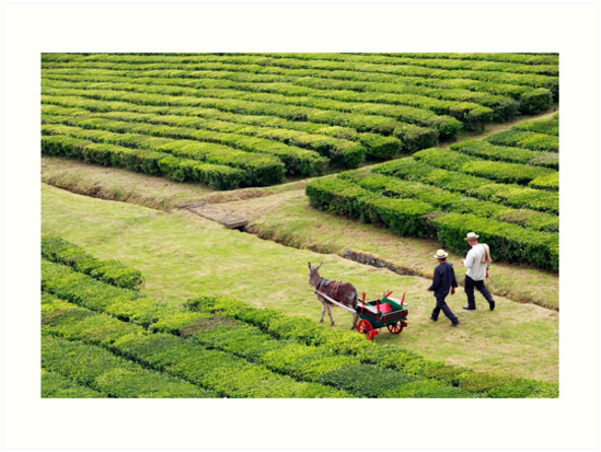 Porto Formoso tea gardens by Gaspar Avila