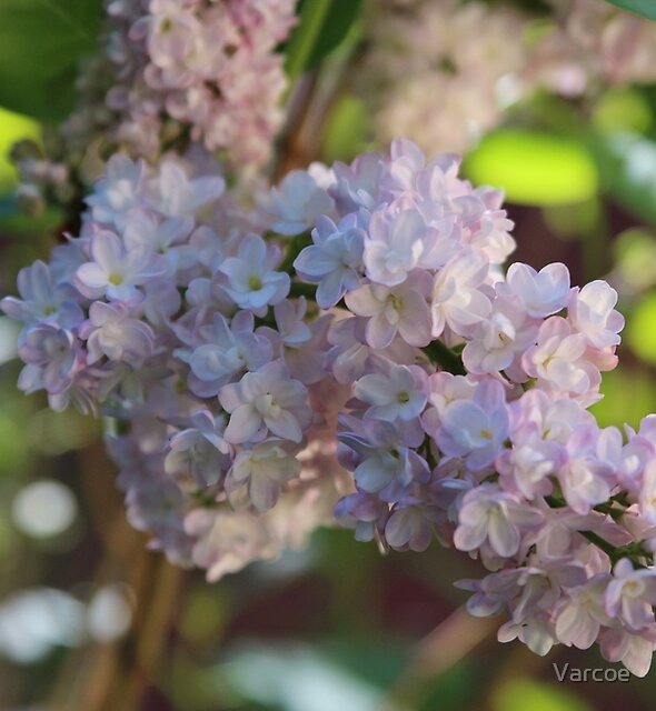 Lilac by Jeanette Varcoe.