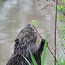 Beaver by richeb