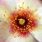 Rose centre macro by mooksool