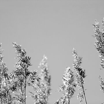 Black&White reed by littlefox