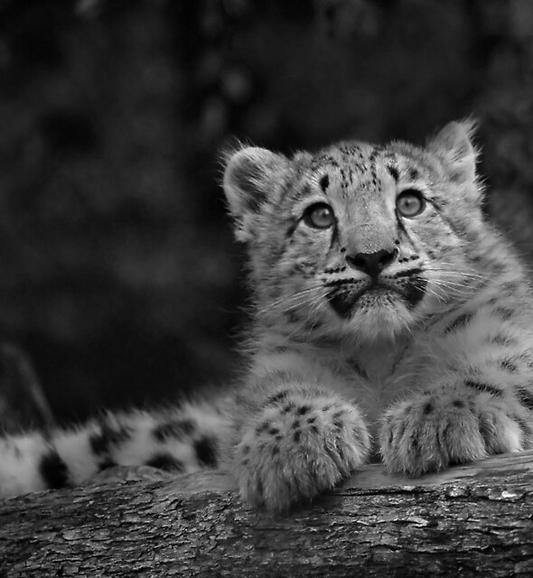 Cub in Black and White 1 by DanielTMiller