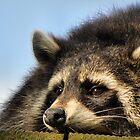 Grumpy Raccoon by chihuahuashower