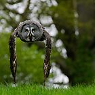 Great Grey Owl (Strix nebulosa) in flight by David Carton