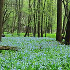 Bluebells in the Woods  by lorilee