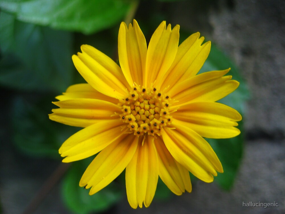 Yellow Flower at the Zoo by hallucingenic