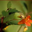 Jewelweed by Anne Smyth