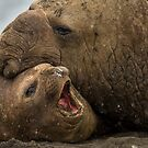 Southern Elephant Seals by Steve Bulford