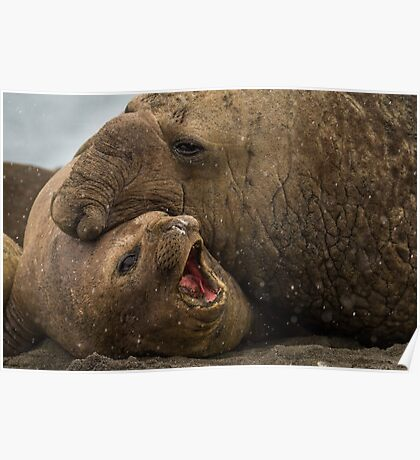 Southern Elephant Seals Poster