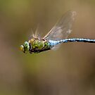 Emperor Dragonfly in Flight by Steve Bulford