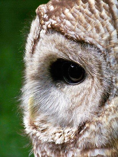 Barred Owl by Dandelion Dilluvio