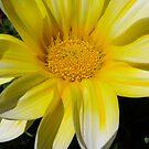 Yellow Daisy by jackitec