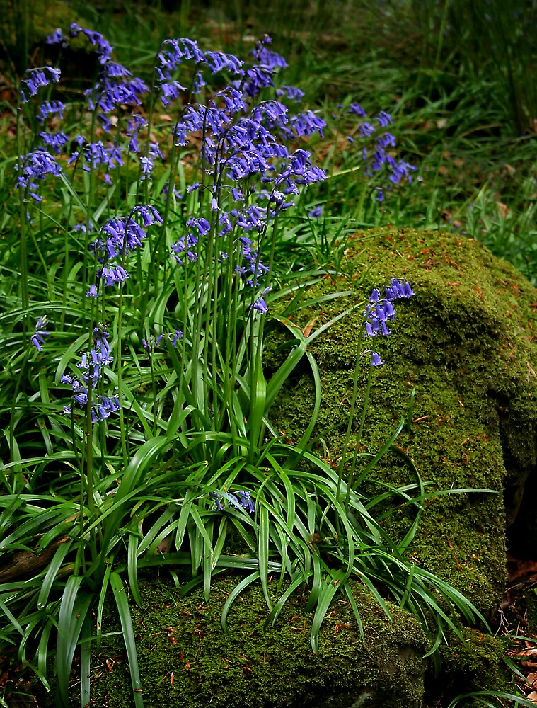 Bluebells Rock by Anthony Thomas