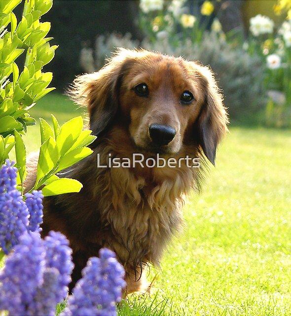 Rufus by LisaRoberts