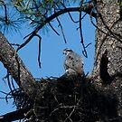 North American Goshawk Nesting by raptrlvr