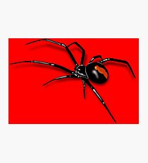 Redback Spider Black Widow Photographic Print