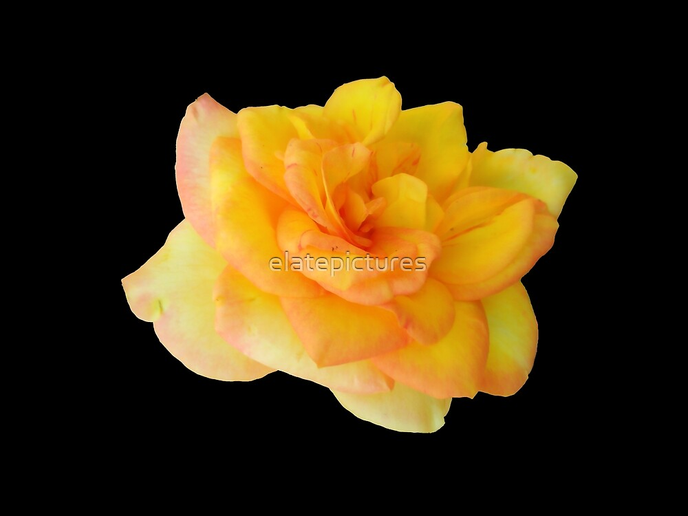 Fully Bloomed Yellow Rose on Black Background by elatepictures