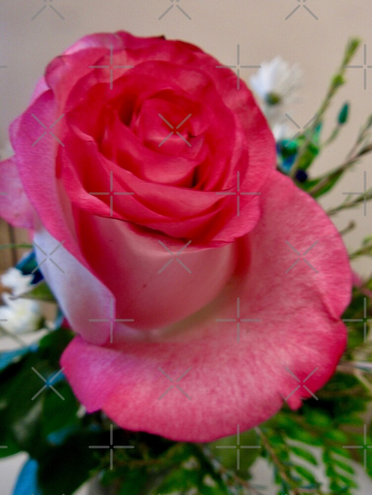 Lovely pink rose by Shulie1