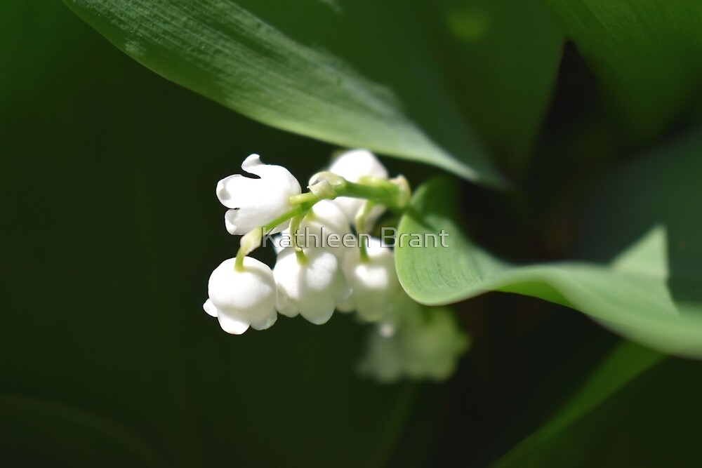 Just Open Lily-of-the-Valley  by Kathleen Brant