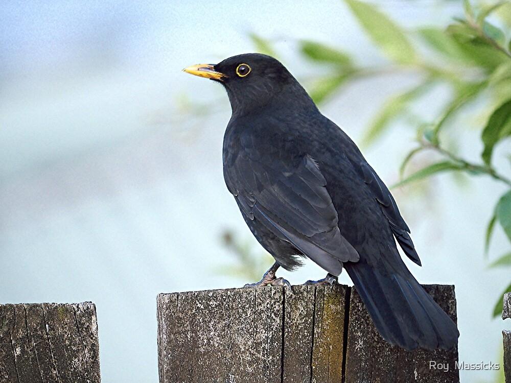 Blackbird.......I'll pose for my family portrait.......!! by Roy  Massicks