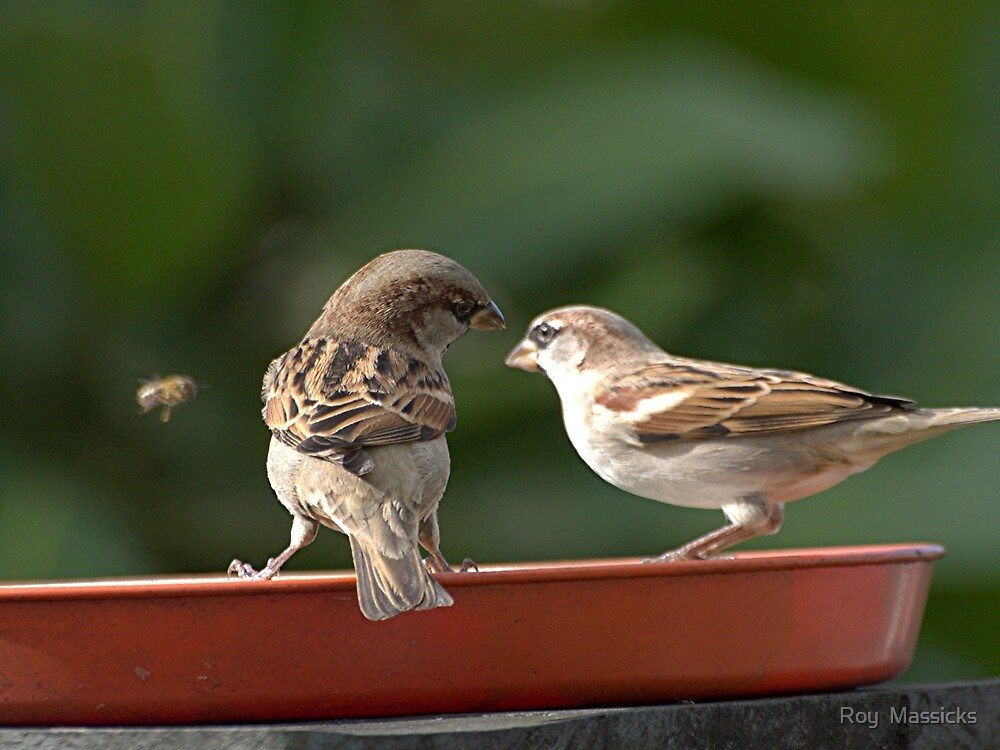 Sparrows......' shall we tell it to buzz off ?'............!! by Roy  Massicks