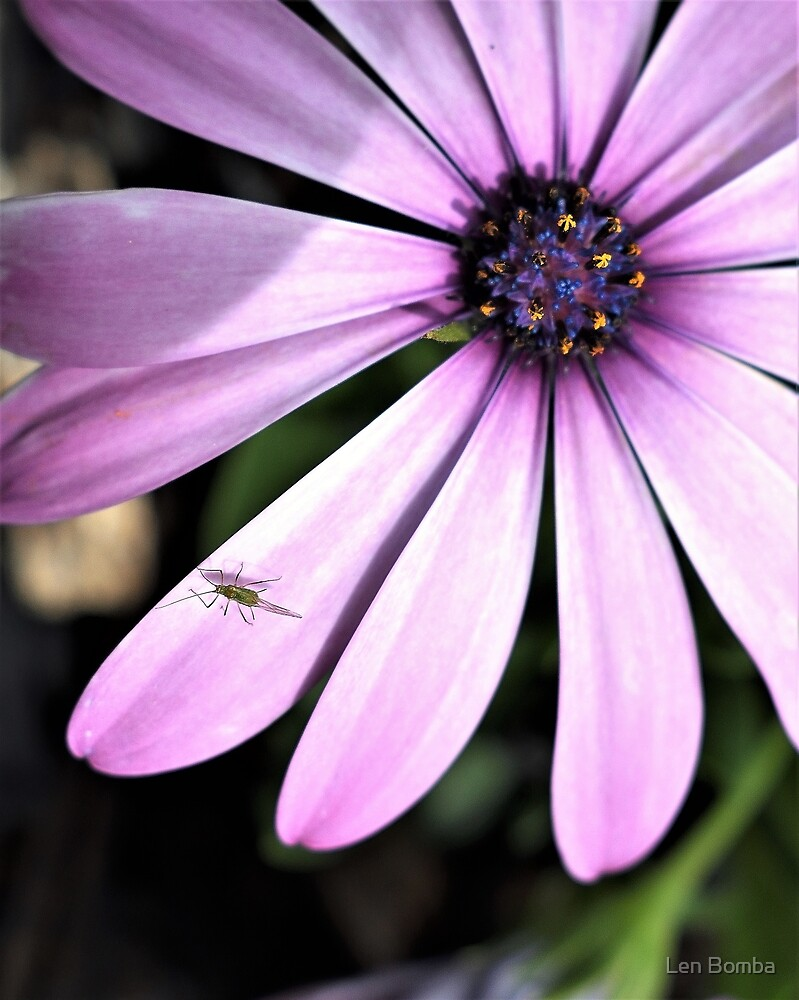 African Daisy and Guest by Len Bomba