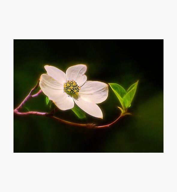 The Dogwood by Kathy Weaver