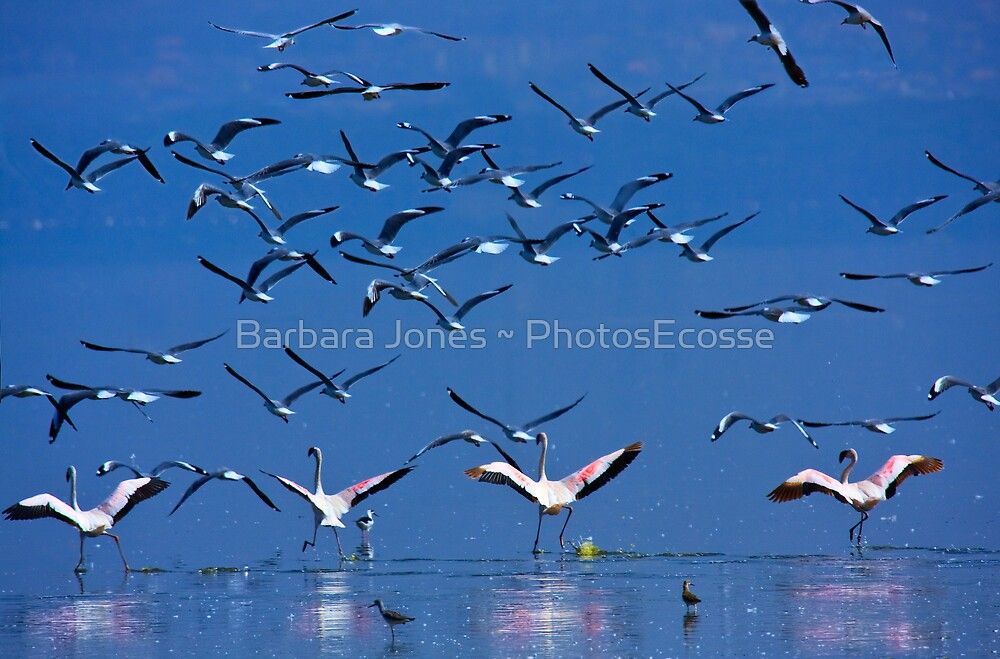 Flamingos in Flight, Lake Nakuru National Park, Kenya, Africa. by PhotosEcosse
