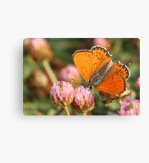 Lesser Fiery Copper (Lycaena thersamon) Butterfly shot in Israel, Summer August  Canvas Print