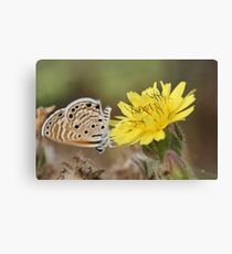 Peablue (Lampides boeticus), or Long-tailed Blue Butterfly shot in Israel, Summer August Canvas Print